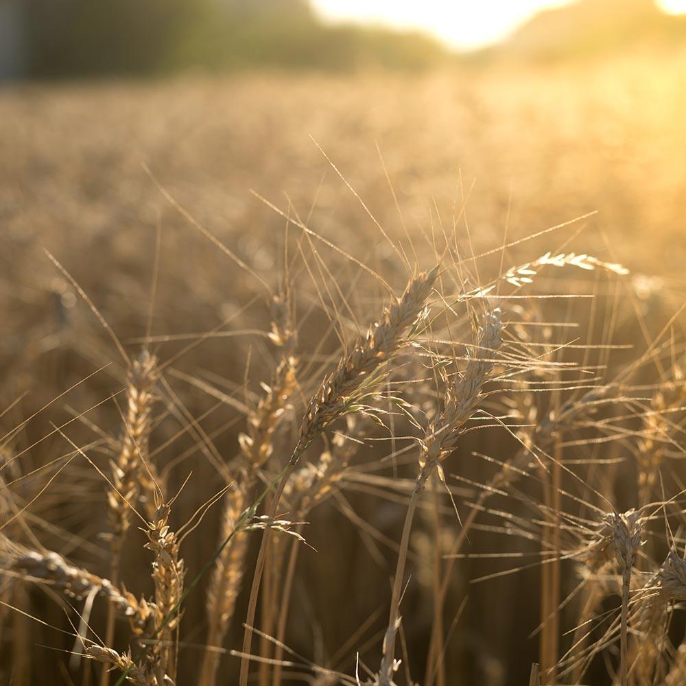 žito wheat